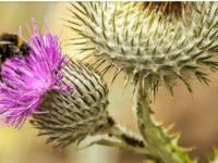 Il Cardo, fiore nazionale della Scozia.